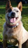 Rubi Australian Cattle Dog